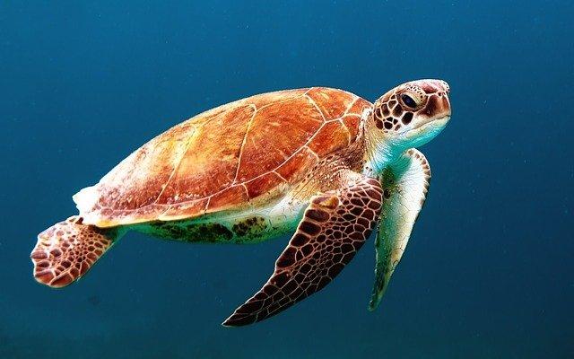turtle, swim, sea turtle